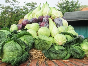 lots-of-cabbage-1431124-m
